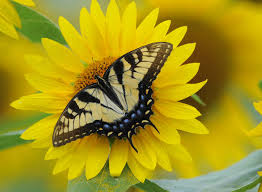 butterfly sunflower